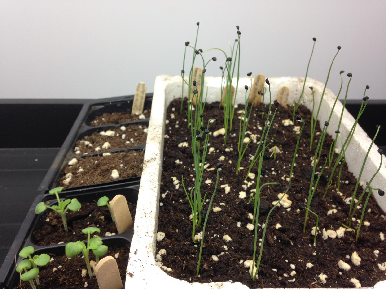 semis de sauge et d'oignons