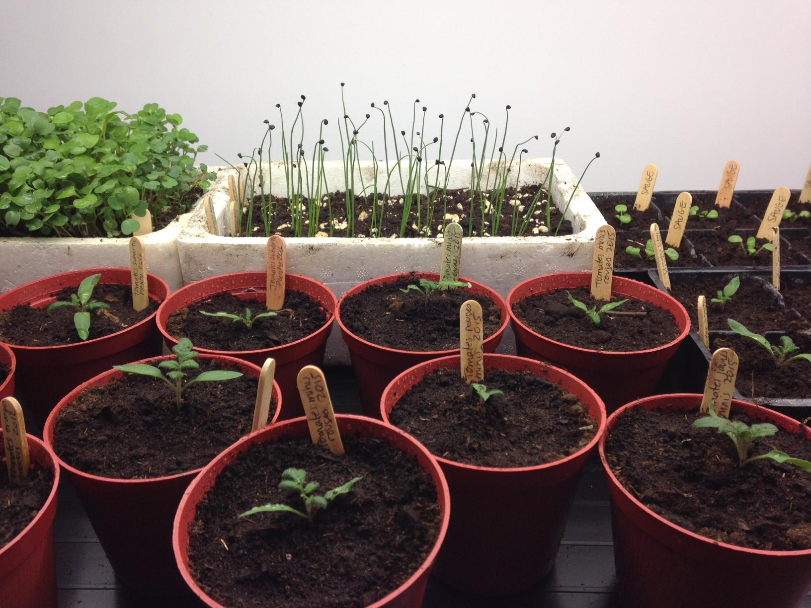 Semis et pousses variés (tomates, oignons, sauge et roquette)