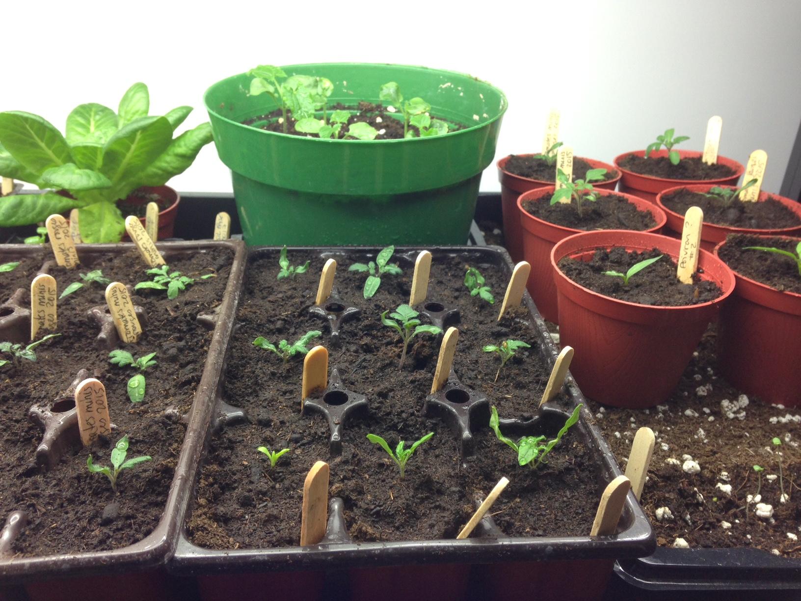Semis variés (thunbergie, tomates, poivrons et lavande)