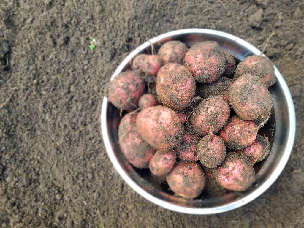 récoltes de patates 2018